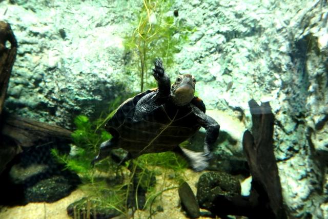ミドリガメ 飼育